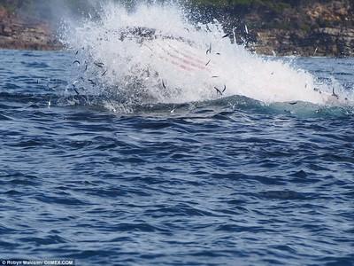Австралийский тюлень прокатился на спине кита (фото)
