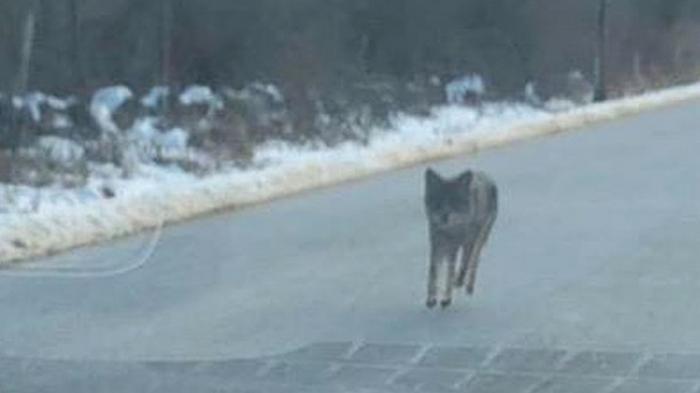 Отец спас сына, убив койота голыми руками (видео)