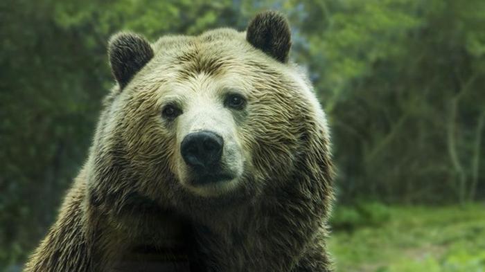 Пенсионерка из Якутии отпугнула медведя рычанием