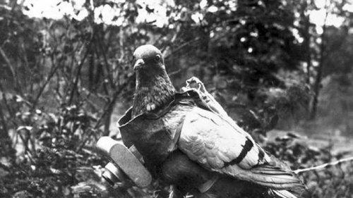 Найдено потерянное почтовым голубем 110 лет назад письмо немецкого офицера