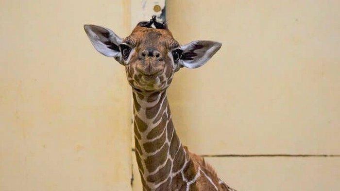 В Великобритании жирафенка назвали в честь первой вакцинированной от COVID-19 (фото)