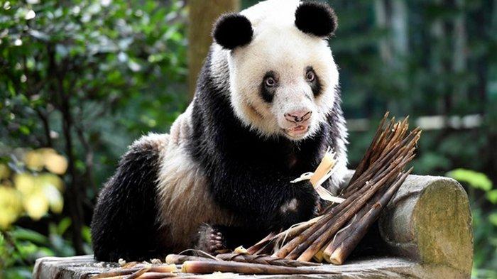 В КНР умерла старейшая в мире панда (видео)