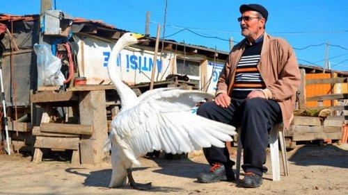Турецкий почтальон подружился с лебедем (фото)