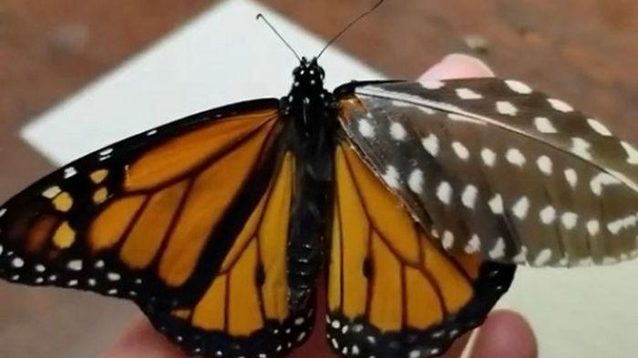 Американка создала для раненой бабочки протез (видео)