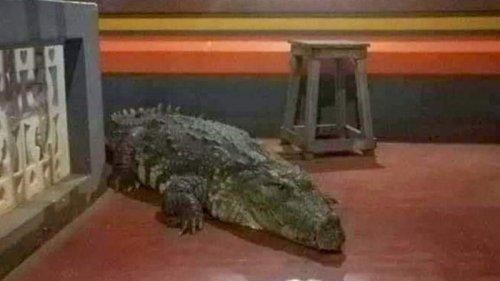 В индийском храме живет крокодил-вегетарианец (фото)