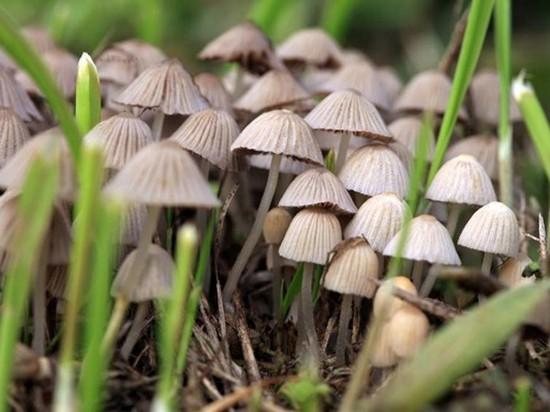 В Британии из-за потепления увеличился урожай галлюциногенных грибов