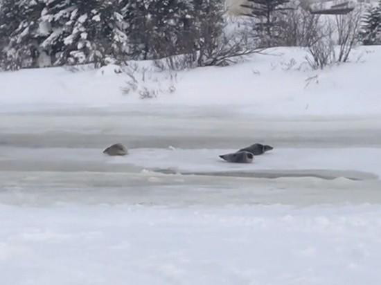 Десятки тюленей парализовали канадский город