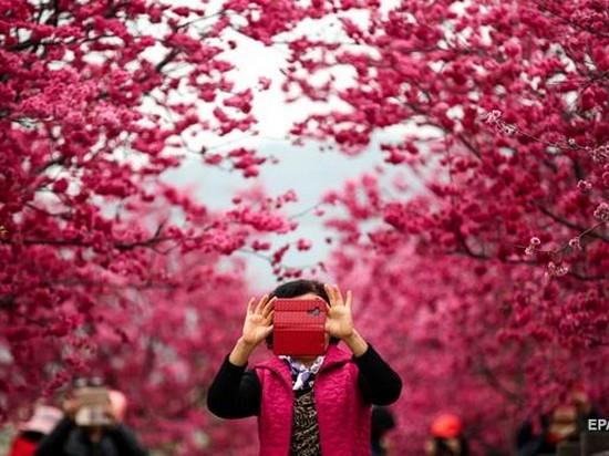 В Китае массово зацвела сакура