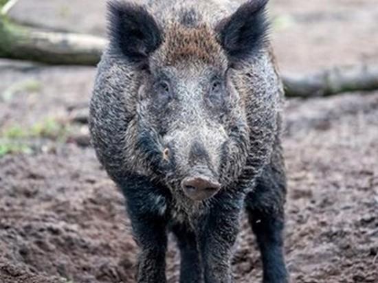 На Донбассе зафиксировали африканскую чуму свиней