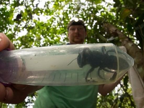 В Индонезии обнаружили гигантскую пчелу, которую считали вымершей (видео)