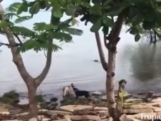 Атаку крупного крокодила на собаку сняли на видео
