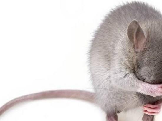 Ученые вылечили алкоголизм крыс с помощью лазера