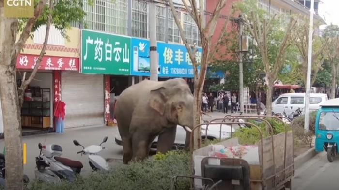 В Китае слон устроил переполох в поселке