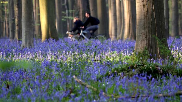 В Бельгии зацвел легендарный Синий лес: яркие фото