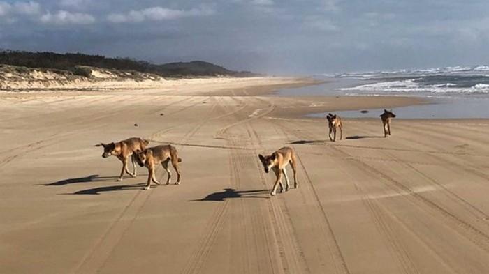 В Австралии собака динго похитила годовалого ребенка