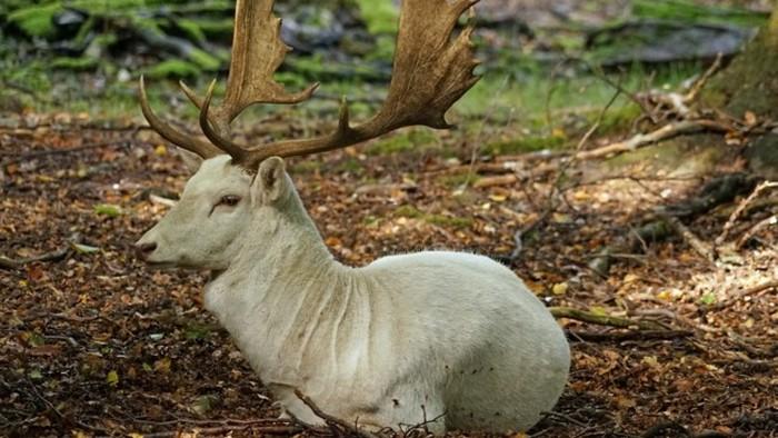 Невероятное животное: уникальный олень-альбинос попал на видео