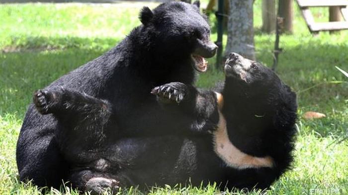 В США во дворе дома подрались два огромных медведя (видео)