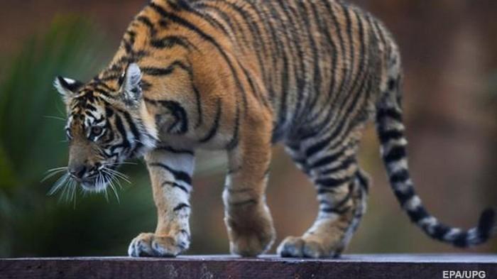 Во Вьетнаме тигр оторвал обе руки работнику зоопарка