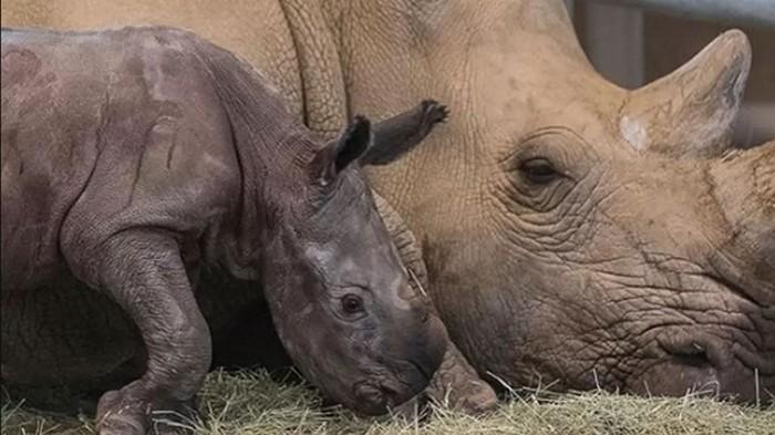 Белый носорог впервые родился после искусственного оплодотворения