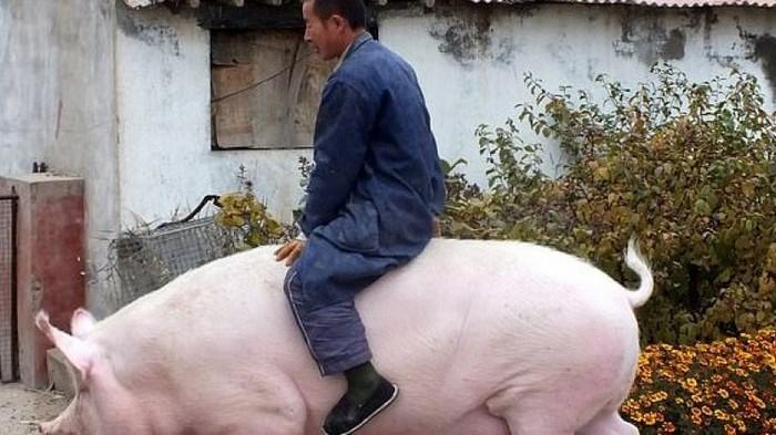 В Китае выращивают свиней, которые весят, как полярные медведи