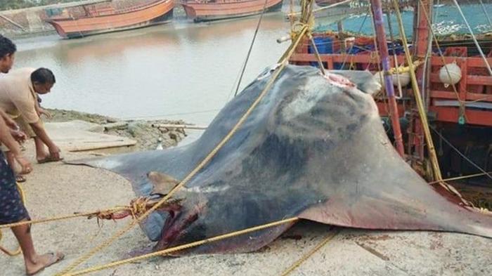 В Индии поймали редкую рыбу весом 900 кг (видео)