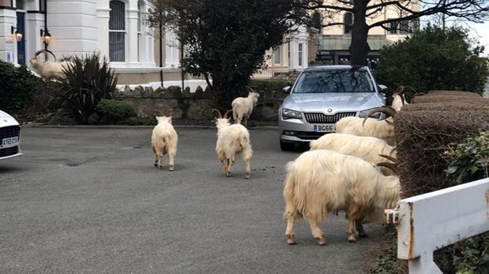 В Уэльсе стадо коз заполонило опустевший город (фото)