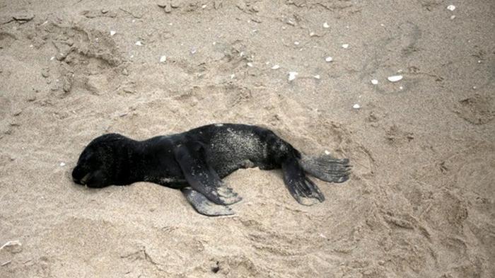 На побережье Намибии вымыло тысячи мертвых тюленей (видео)