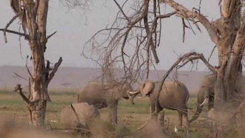 В нацпарке Кении родилось более двухсот слонов (видео)