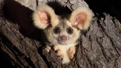 В Австралии открыли два новых вида животных. Посмотрите, какие они мил...