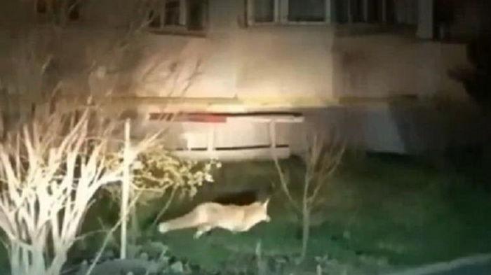 В Виннице по улицам бегают дикие лисы (видео)
