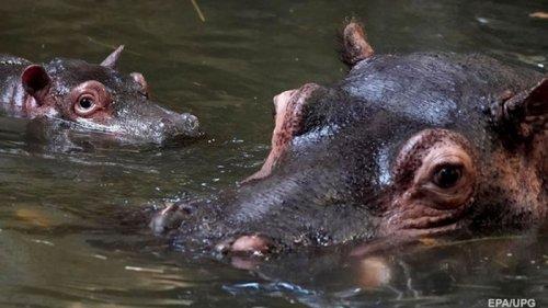 Бегемоты Пабло Эскобара угрожают экосистеме Колумбии