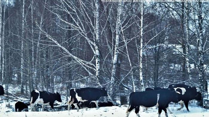 Ученые рассказали, чем дикие коровы из-под Чернобыля отличаются от домашних – фото