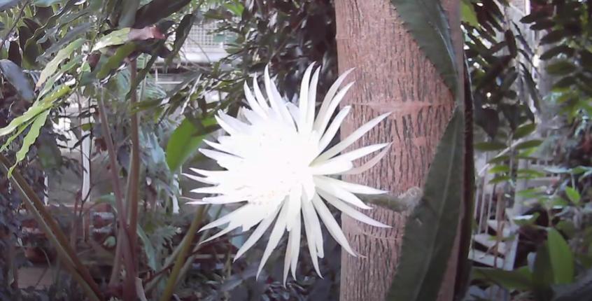 В Британии расцвел редкий амазонский кактус – он цветет всего 12 часов