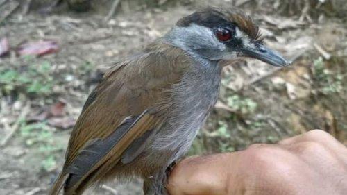 На Борнео заново открыли уникальную птицу (фото)
