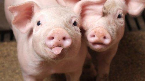 Как изготовить корм для свиней своими руками?