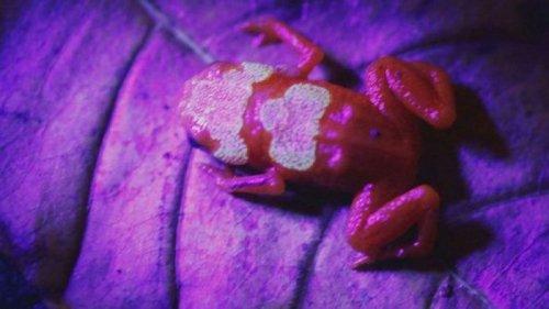 В Бразилии обнаружили маленьких жаб с удивительными костями