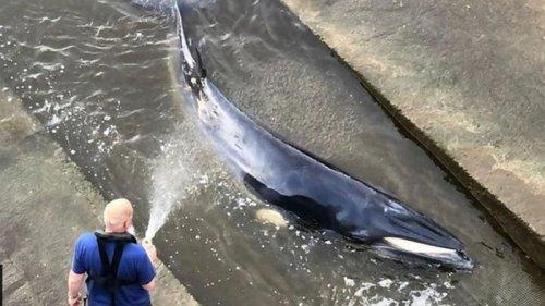 В Лондоне кит застрял на реке Темза (видео)