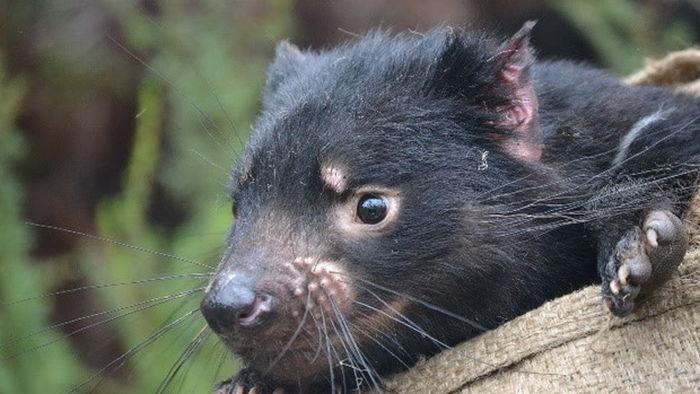 На материковой части Австралии впервые за 3000 лет родились редкие сумчатые