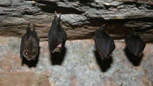 Все как у людей. У больных летучих мышей нашли социальное дистанцирова...