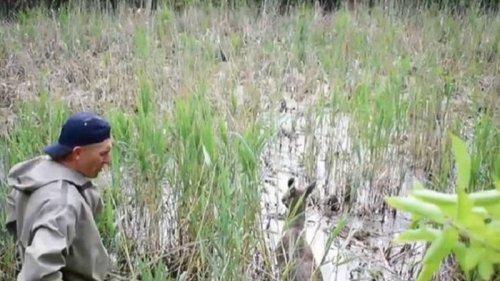 Возле Ровно из болотной ловушки спасли лосиху (видео)