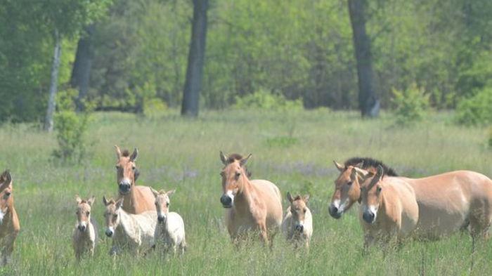 Под Чернобылем заметили табун уникальных коней Пржевальского – у них пополнение
