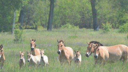 Под Чернобылем заметили табун уникальных коней Пржевальского – у них п...