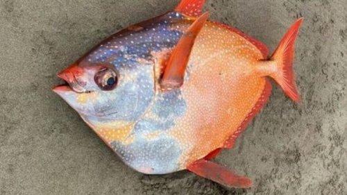 На севере США обнаружили редкую теплолюбивую рыбу