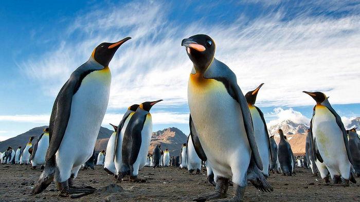 Императорским пингвинам в Антарктиде угрожает вымирание