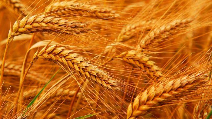 Озимая пшеница от «Агро Эксперт» – уникальный продукт